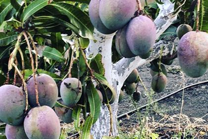 Mangos ecológicos rec. Islas Canarias