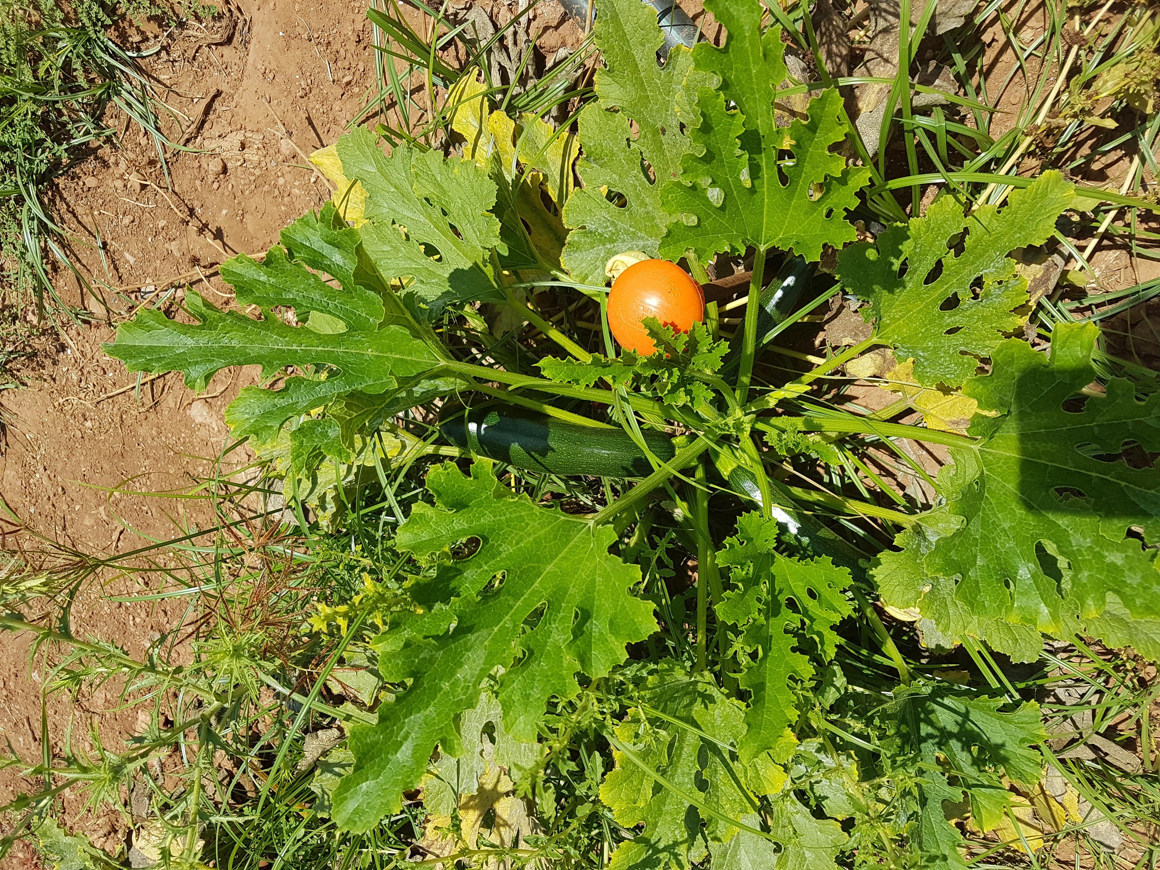 Calabacin verde