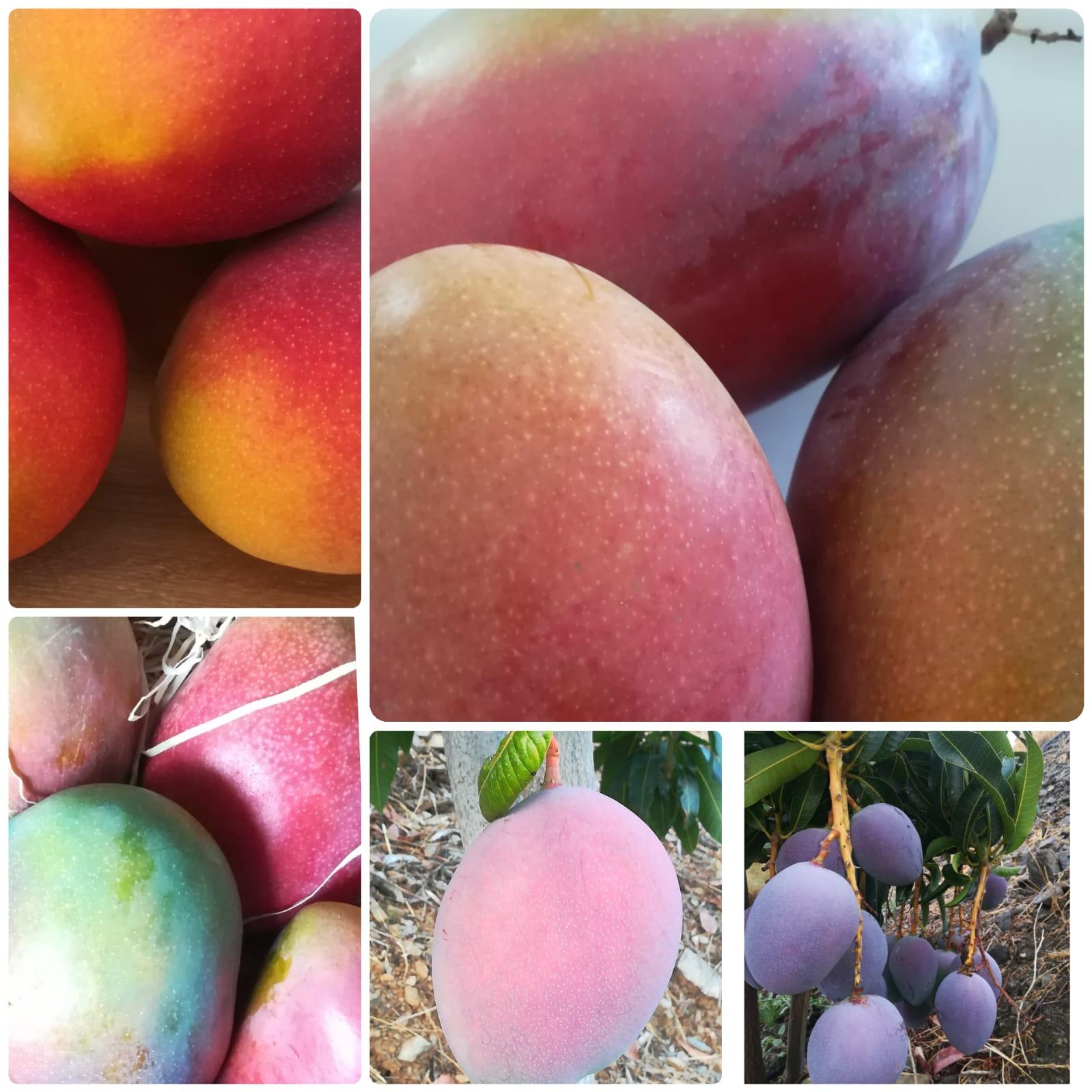 Mango de Málaga axarquía, de distintas variedades
