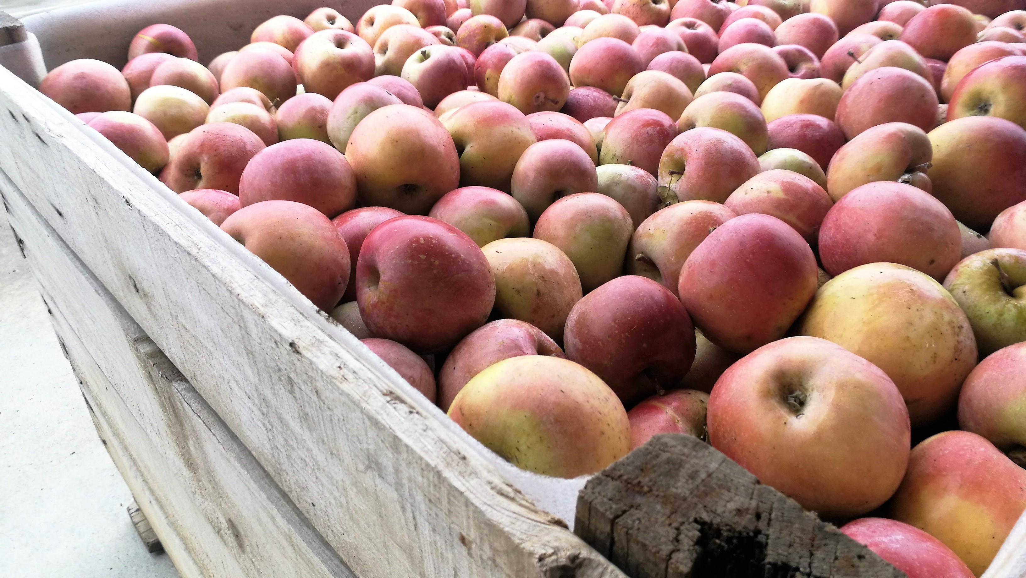 Manzanas Fuji (ECO reconversión)