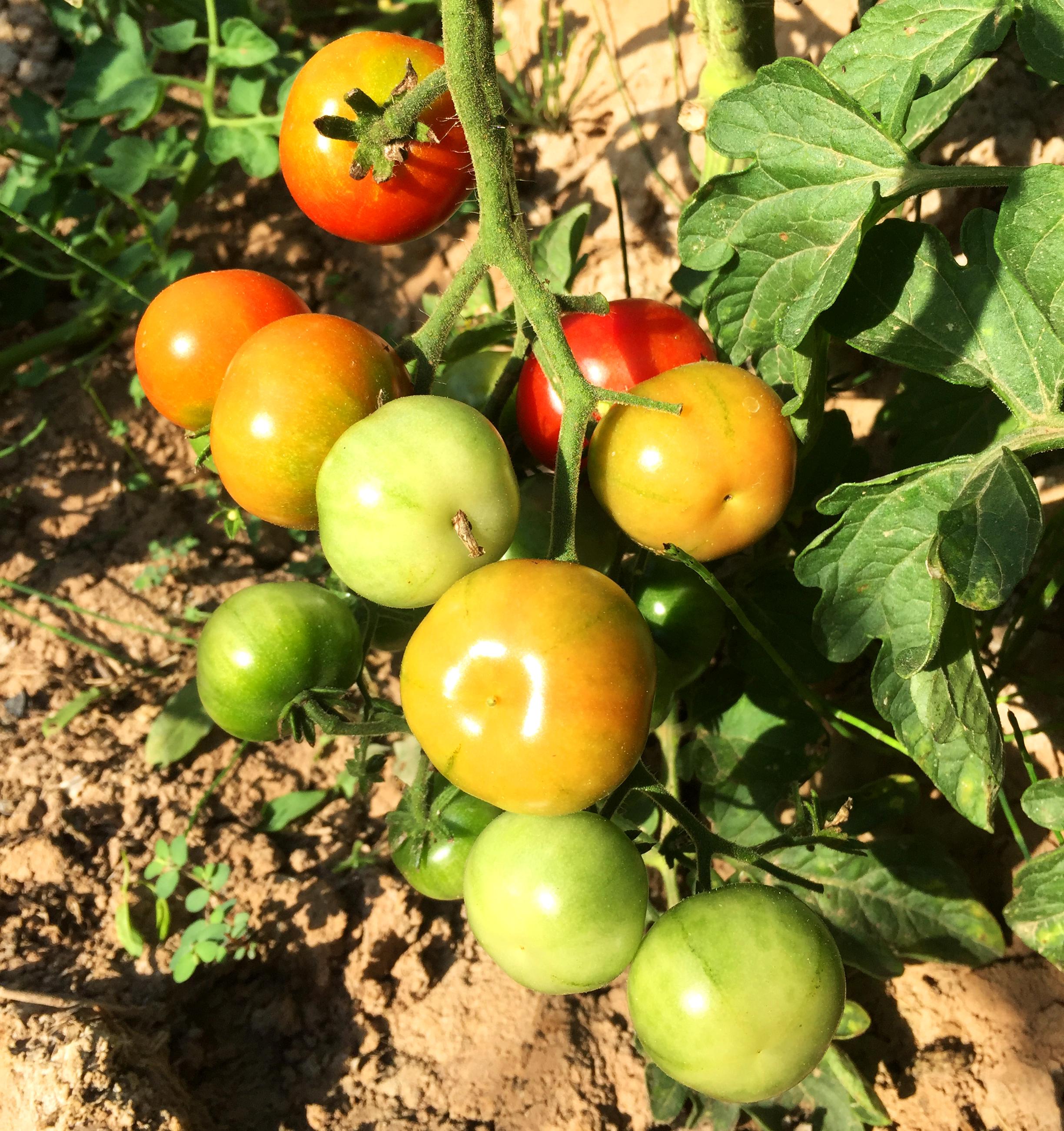 Tomate ECO Tipo Cherry