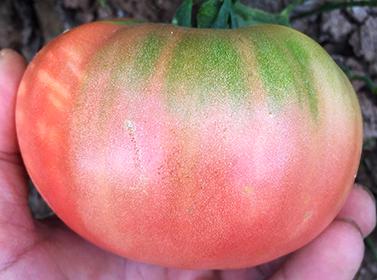Tomate ECO