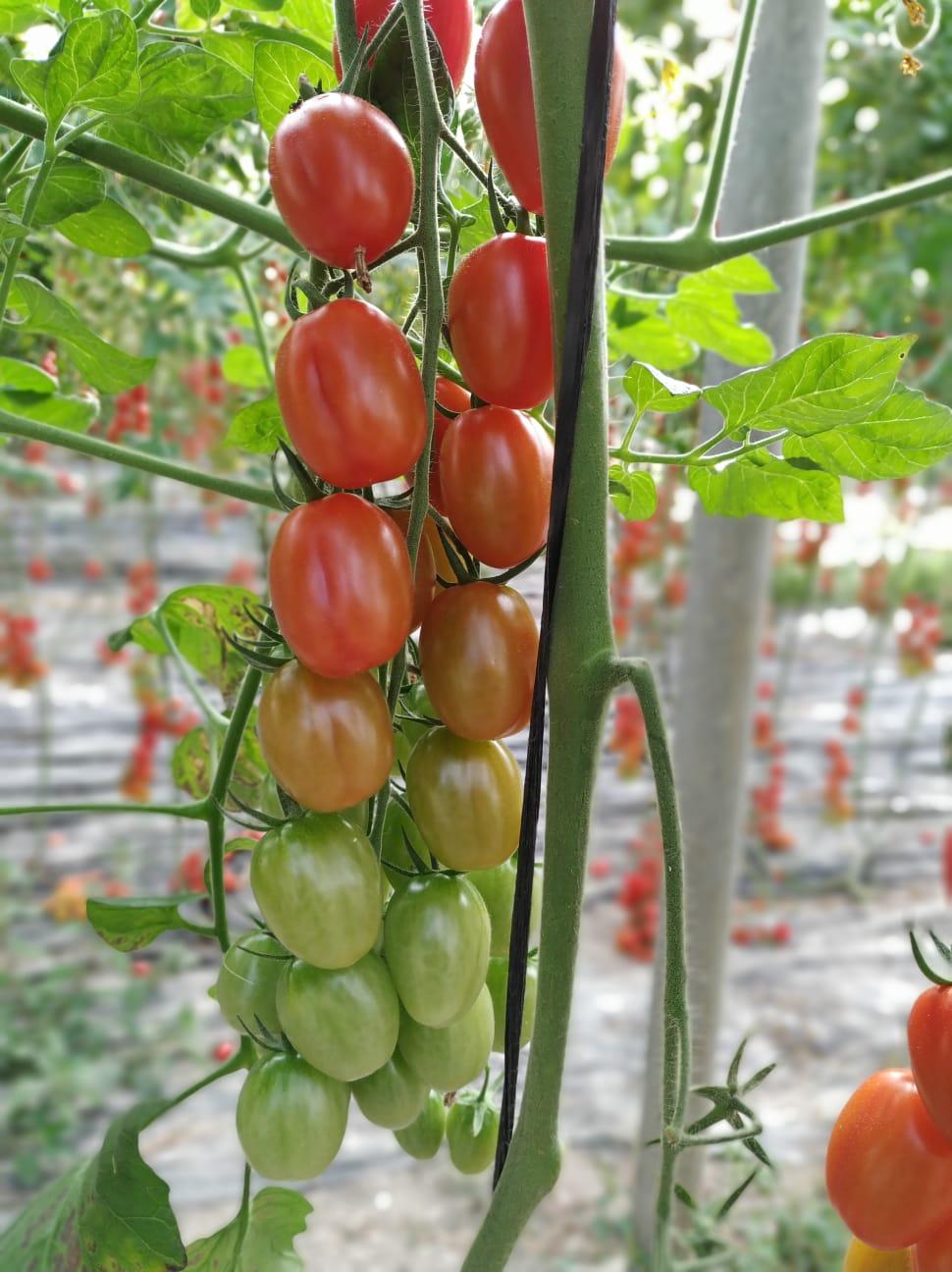 Cherry Pera TomaTotis