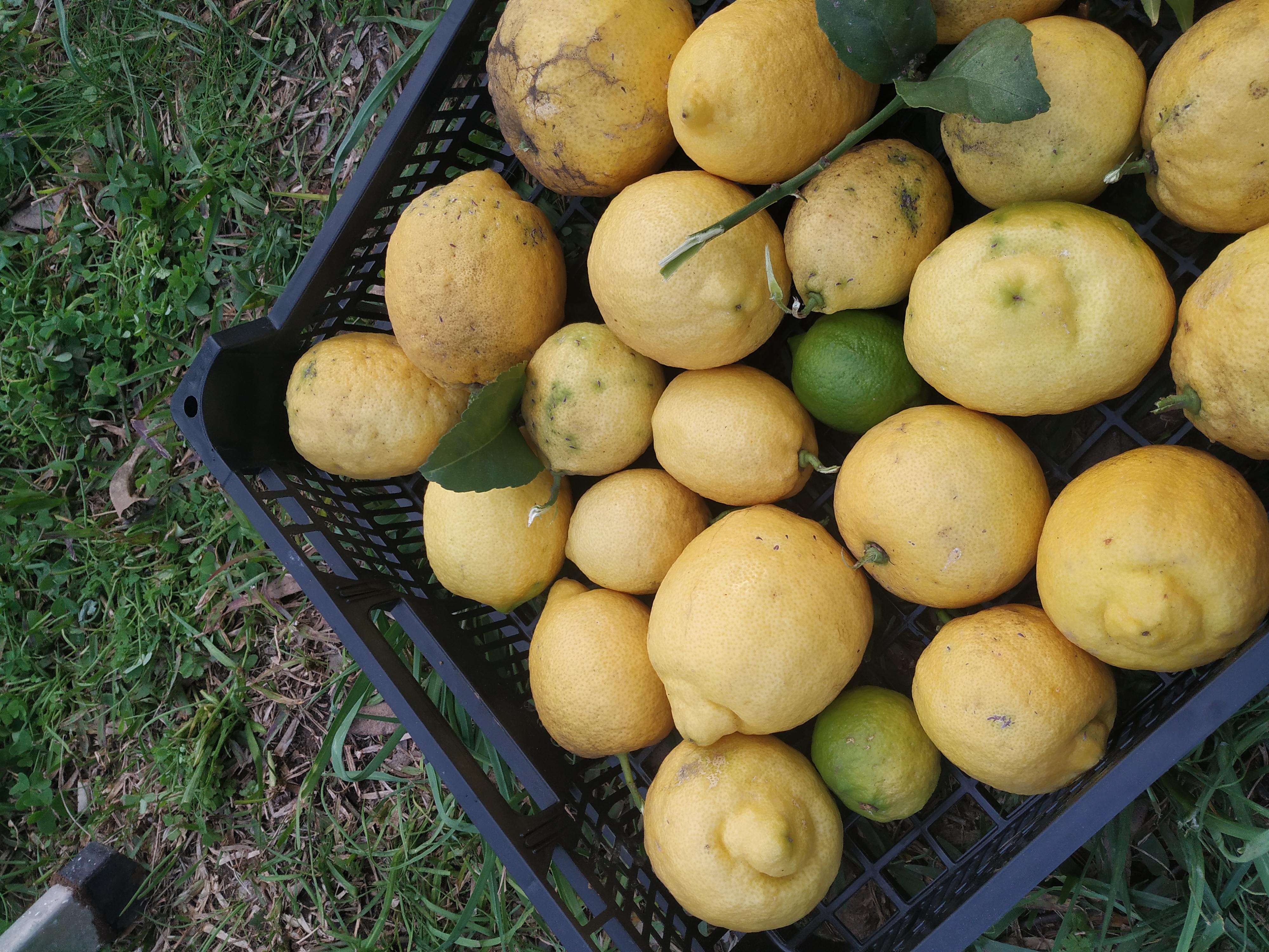 Limones ecológico