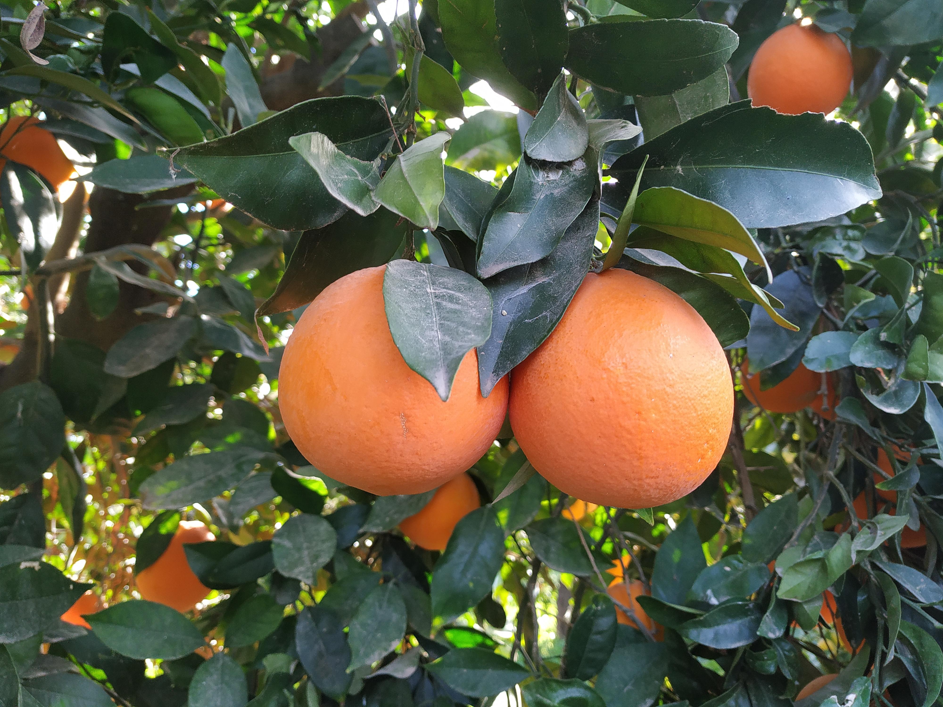 Naranja Bio  (5 KG)