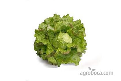 Lechuga ecológica hoja de roble (verde / morada)
