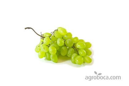 Uva blanca ECO