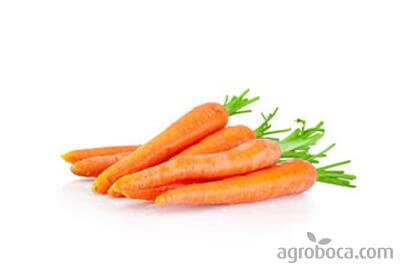 Zanahorias frescas con hojas
